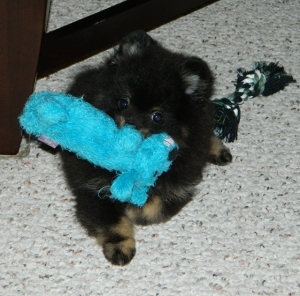 sumo_blue_dog