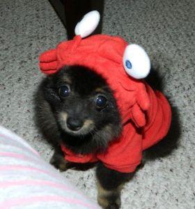Sumo Lobster