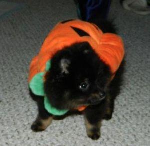 Sumo Pumpkin